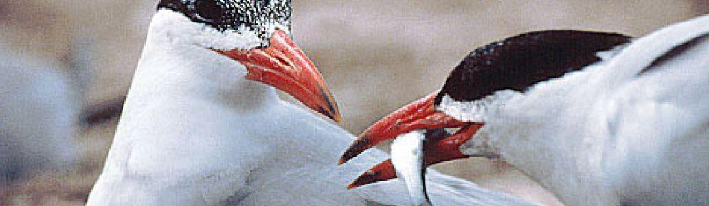 Restauration et Aménagements des zones de nidifications