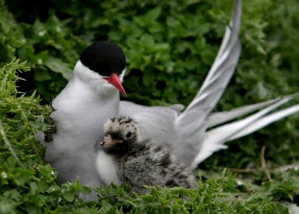 Restauration et Aménagements des zones de nidifications pour la Sterne pierregarin