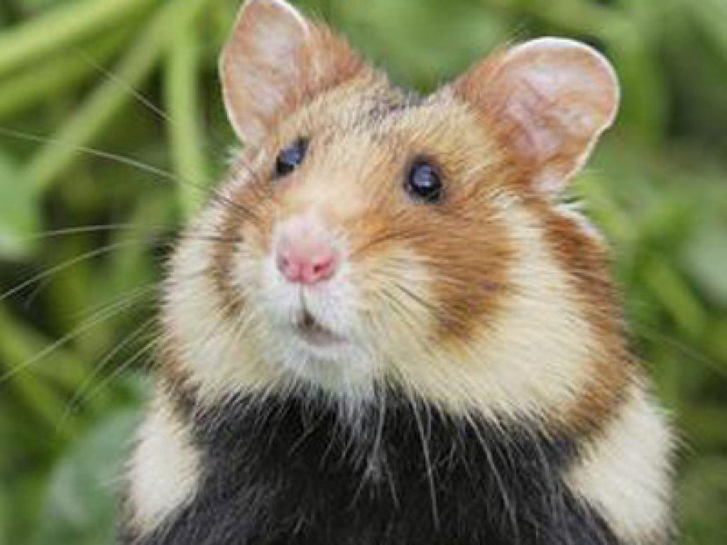 Travaux courant dans le cadre du programme de renforcement de la population de Grand Hamster d