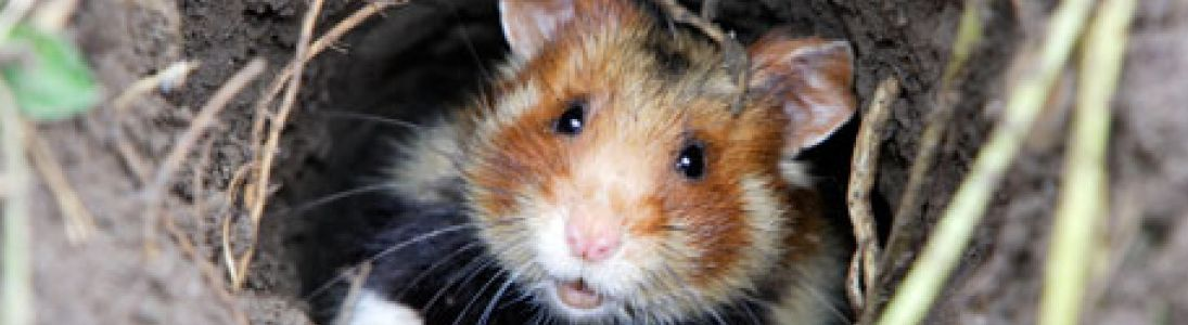 Travaux pour le renforcement des  Grands Hamsters d'Alsace